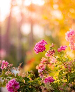 Blomster udenfor i haven med solnedgang